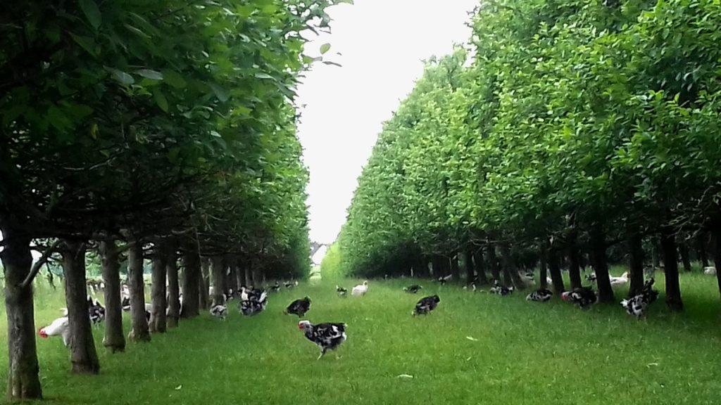 Volailles de chair en Plein air Novial