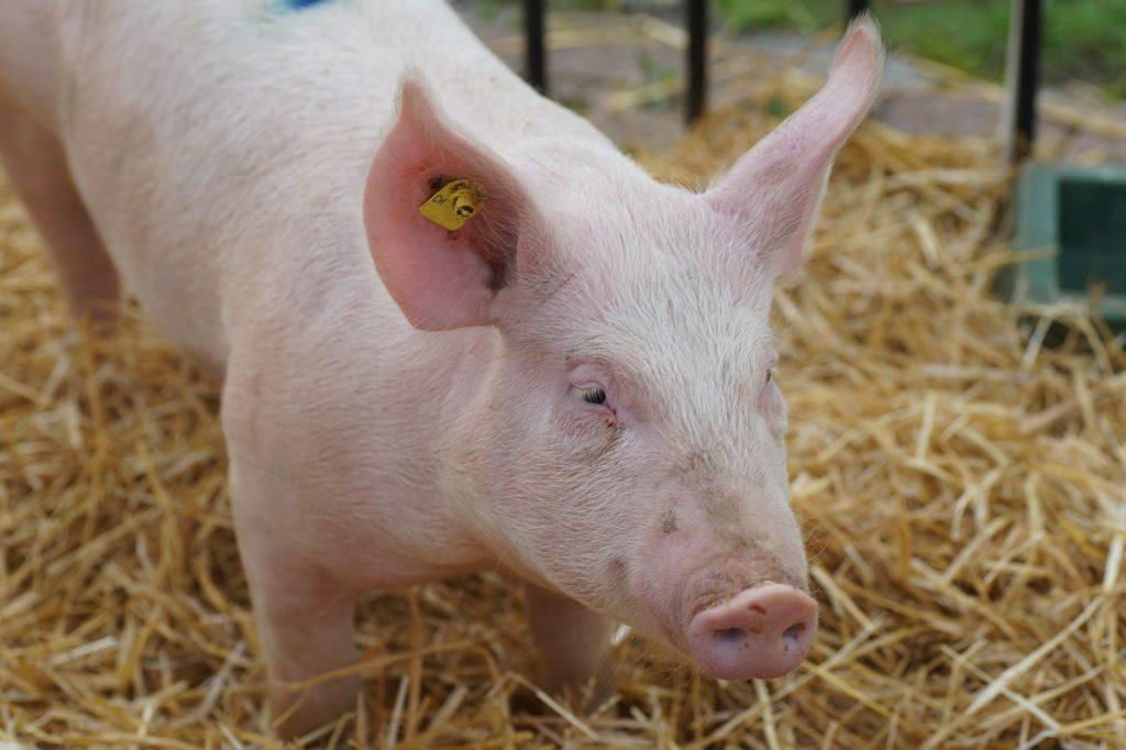 Cochon dans son étable Novial