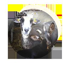 chèvres, brebis et moutons