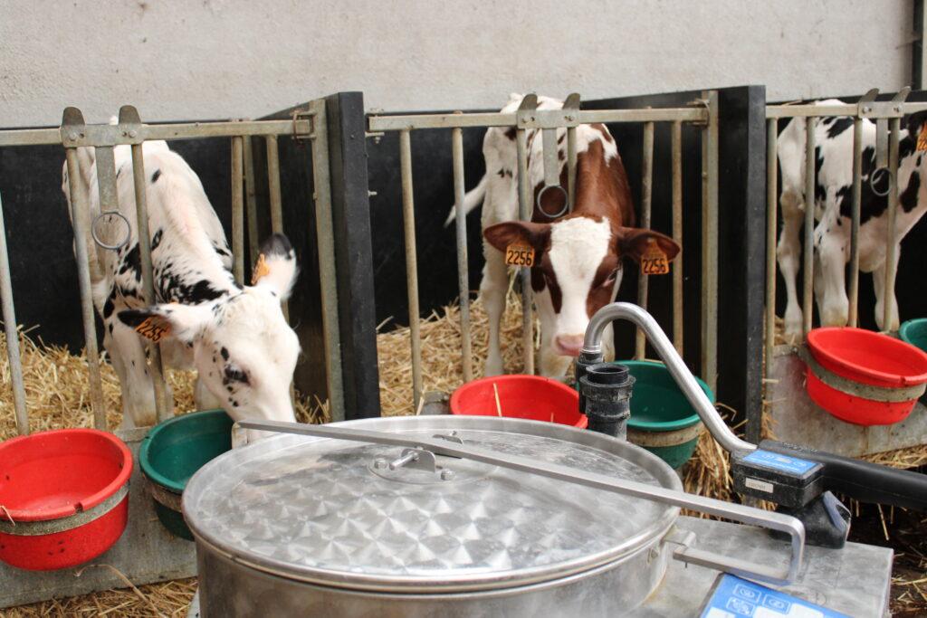 Vaches - Allaitement - Novial